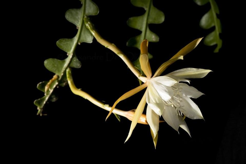 kaktusz pikkelysömör kezelésére)