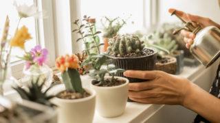 Kaktusz Epiphyllum psoriasis vásárlás