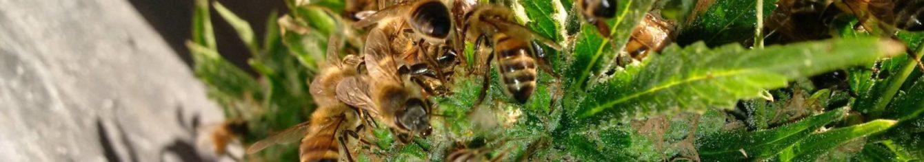 elhalt méhek kezelése pikkelysömörhöz vörös foltok a bőrön vérrákkal